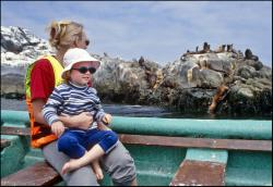 Stado lwów morskich koło wyspy Pan de Azucar