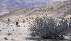 Bezlistny krzak w dolinie El Mirador
