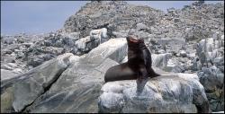 Lew morski na koło wyspy Pan de Azucar